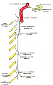 Cervical-Ganglia