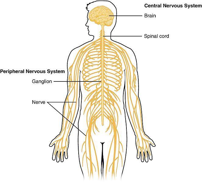 ganglion impar nerves